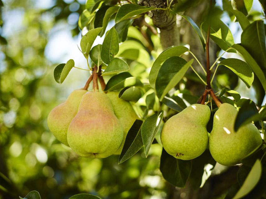 top-15-des-fruits-frais-les-moins-caloriques (6)