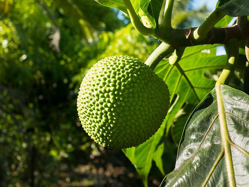 fruits-tropicaux-L'Arbre-à-Pain