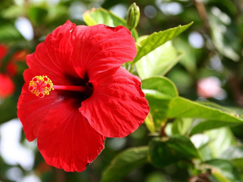 fleur-L'Hibiscus