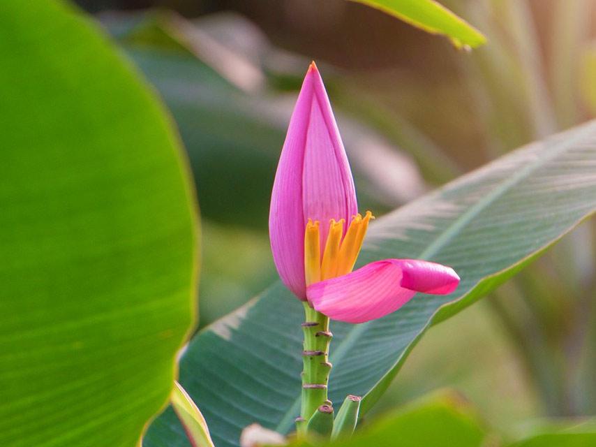 fleur-La-Fleur-de-Bananier
