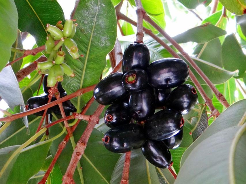 fruits-tropicaux-Le-Jamblon