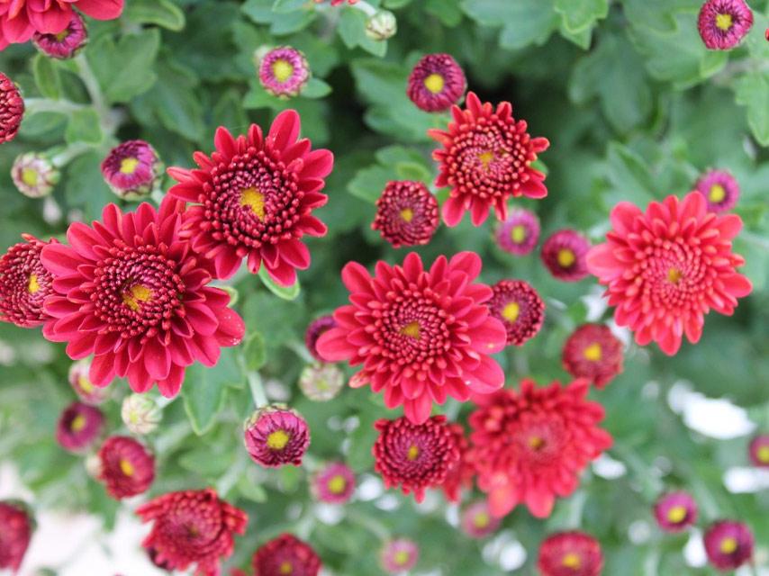 fleur-Les-Chrysanthèmes